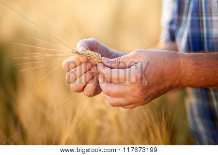 Hands Of Male Farmer Checking Grain