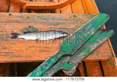 Fisherman Trophy - Caught Pike Lies In The Old Wooden Fishing Boat