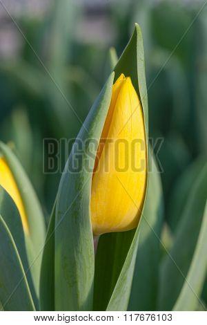 Macro detail of yellow tulip bud on green grass