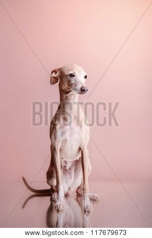 Italian Greyhound On A Color Background In Studio