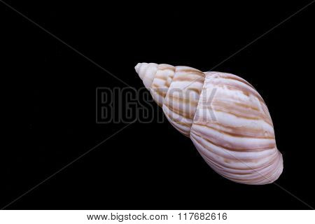 Small Cockleshell Isolated