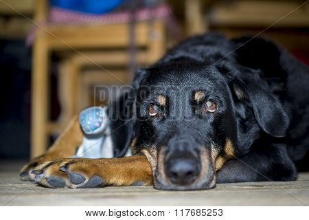 Black Dog Resting Lying On The Floor