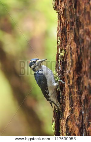 Woodpecker in the forest