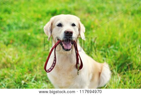 Happy Golden Retriever Dog With Leash Sitting On Grass In Summer