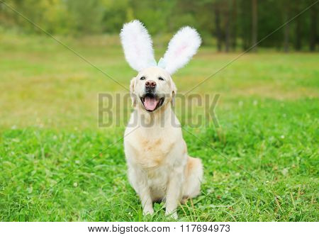 Happy Golden Retriever Dog With Rabbit Ears Sitting On Grass In Spring Day Outdoors
