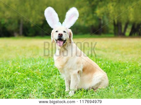 Happy Golden Retriever Dog With Rabbit Ears Sitting On Grass In Spring Day