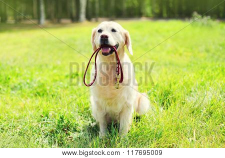 Beautiful Golden Retriever Dog With Leash Sitting On Grass In Summer Day