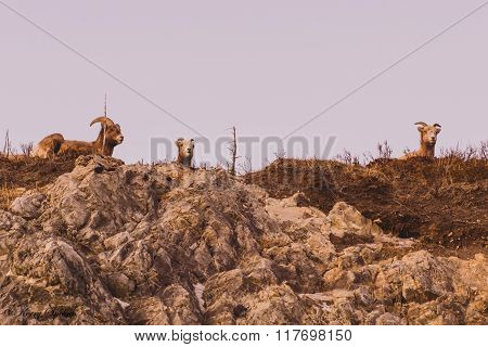 Mountain Goats On A Mountain