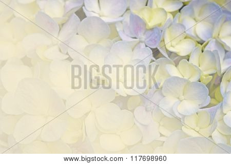 Floral Background Soft Purple Hydrangea Flowers (vintage Soft Color Style)