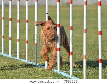 Irish Terrier At Dog Agility Trial