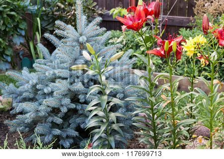 Red Lilies And Blue Spruce In Garden