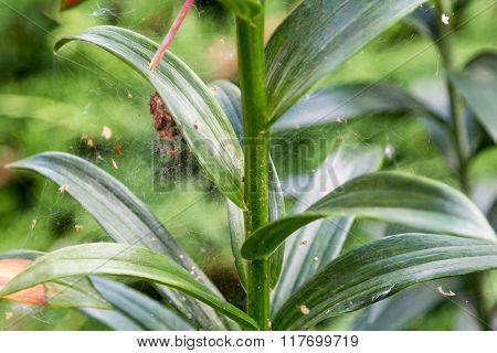 Spiderweb On Leaves Of Lily In Foliage