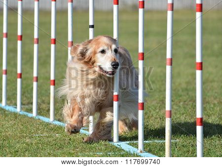 Golden Retriever At Dog Agility Trial