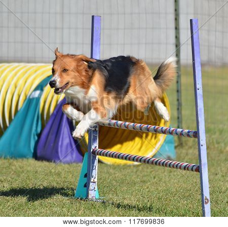 English Shepherd At A Dog Agility Trial