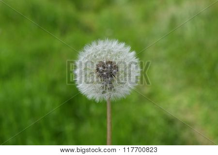 Ripened Dandelion In The Grass