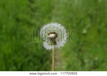 Ripened Deflated Dandelions In The Grass