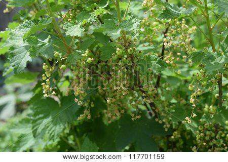 Unripe Red Currant Berries