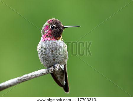 Male Anna's Hummingbird sitting, Canada