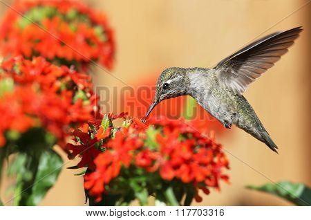 Anna's Hummingbird feeding on Maltese Cross flowers