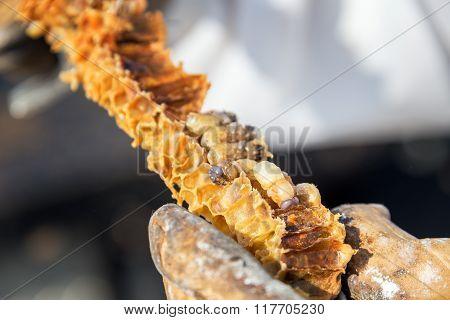 Bee Grub On Honeycomb