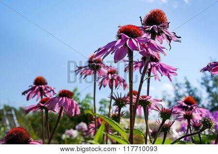 Coneflower blossom