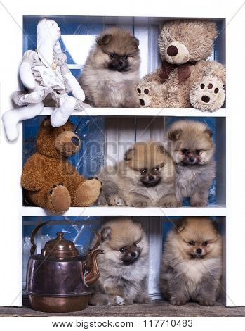 Pomeranian puppies and  bear toy
