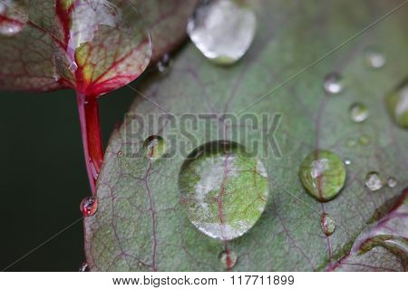 Selective focus of drops of water on rose leaves with blurred background