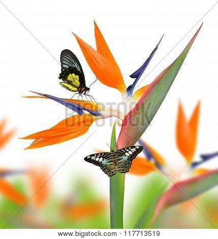 Strelitzia reginae, bird of paradise flower with butterfies