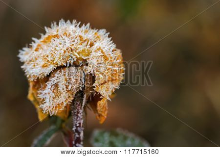 Selective focus of small white ice crystals forming on dried old rose flower in the morning during winter