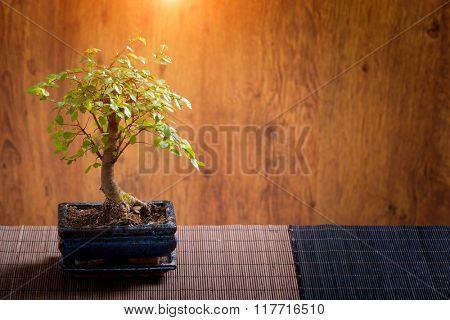 Beautiful bonsai tree on wooden background