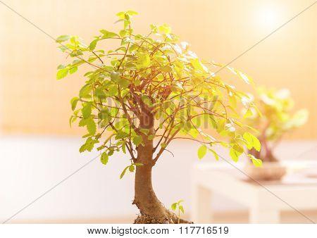 Beautiful bonsai tree on table closeup