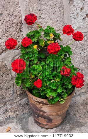 geranium in a flowerpot on the stone wall background