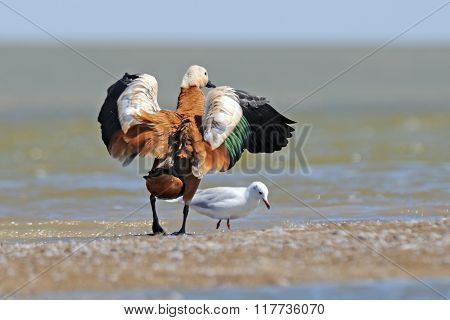 Flapping Wings Ruddy Shelduck And Slender-billed Gull