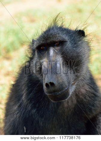 Baboon Monkey Portrait