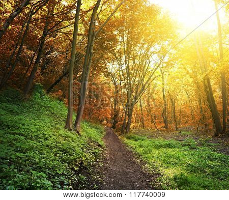 Morning forest and bright sunset and floor are green and trees are orange