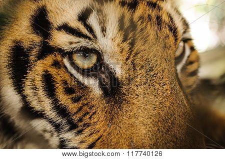Fierce Bengal Tiger Eye Looking