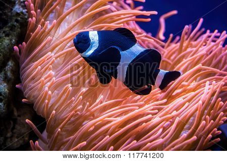 Sea anemone and black clown fish