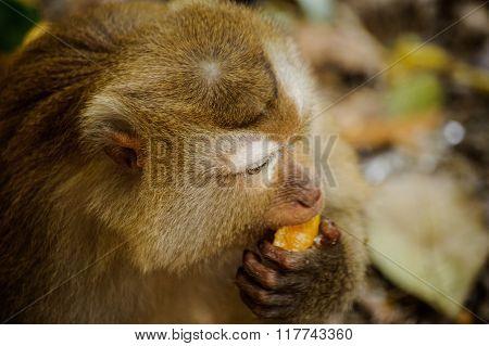 Monkey Sits  And Eats Orange
