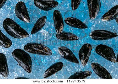 Fresh mussels on ice drift