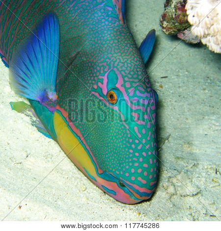 Colorful Exotic Fish Daisy Parrotfish At The Bottom Of Tropical Sea, Underwater
