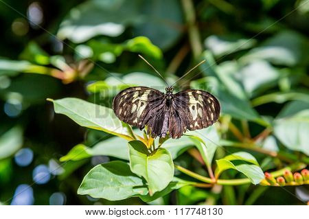 Black And Yellow Butterfly Poised For Flight
