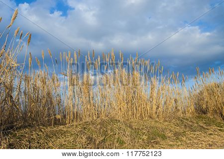 Reeds On A Cloudy Sky