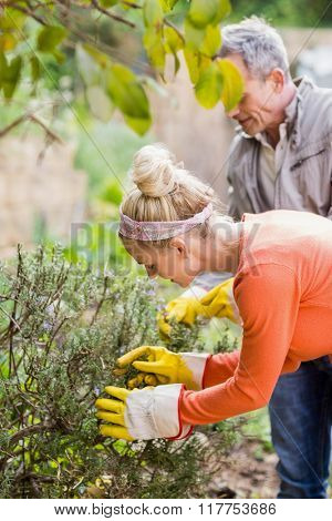 Cute couple picking aromatic herbs in the garden
