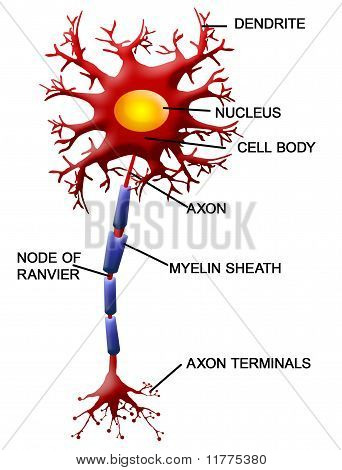 Neuron Cell