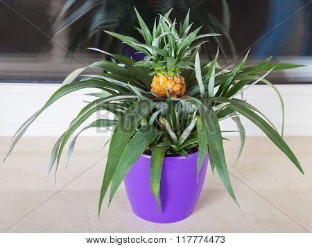 Pineapple Plant Grown In Pot