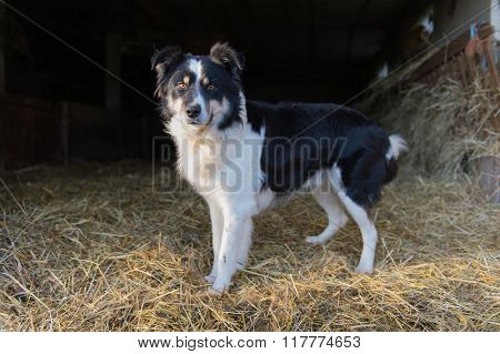 Border Collie dog in stable