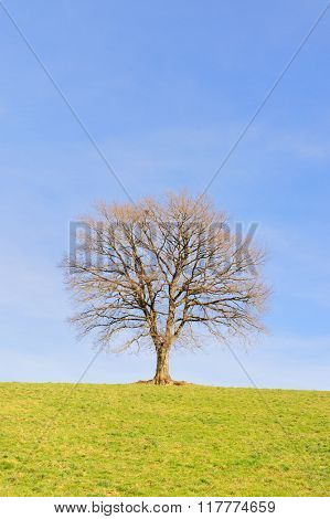 Single bald tree in winter sun on green hill