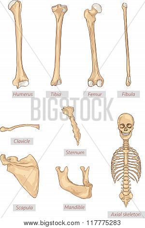 Vector illustration of the kind of bone in the human body