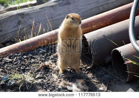 Arctic Ground Squirrel Near Metal Tube