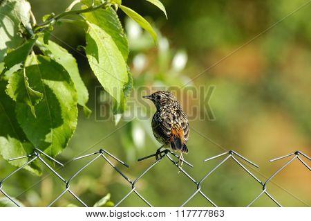 Juvenile Bluethroat At The Fence
